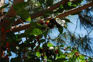 Leckerer Snack am Wegesrand: Maulbeerbäume