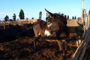Auf dem Gelände des Agriturismo Podere del Gesso leben Esel.