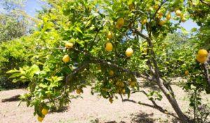 Zitronenbaum auf dem Agriturismo Pirapora in Kalabrien