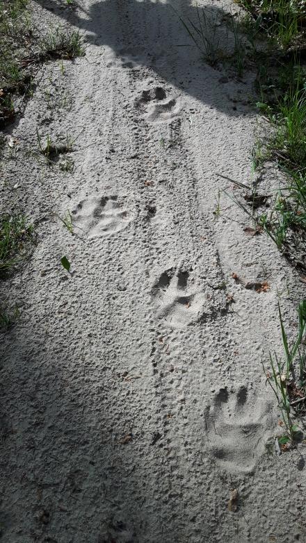 Eine Wolfsspur im Wendland.