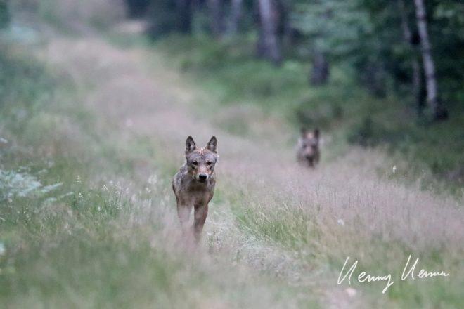 Ein junger Wolfsrüde im Wendland.